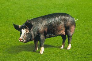 写真:純粋黒豚六白
